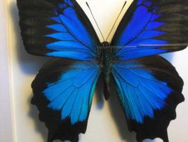 Papilio ulysses ulysses vlinder