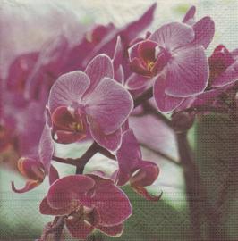 Orchidee, servet