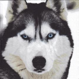 Huskey, servet