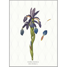 Kaart met Envelop Iris Spuria (A5) - Koustrup & Co.