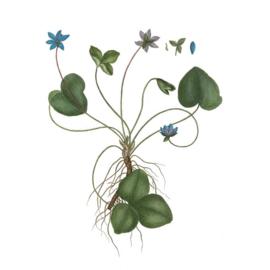 Magneet Blue Anemone (8 cm.) - Koustrup & Co.