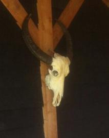 Echte waterbuffel schedel met zwarte hoorns