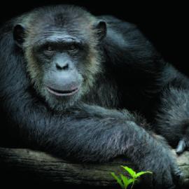 Foto kaart Chimpansee met zwarte achtergrond