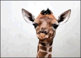 Wenskaart Giraf