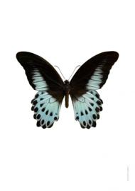 Foto poster Vlinder Papilio polymnestor A4