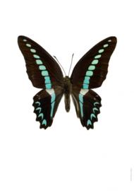 Foto poster Vlinder Graphium sarpedon A4