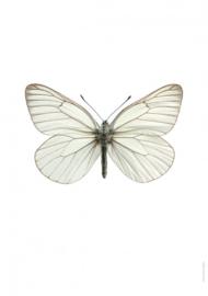 Foto poster Vlinder Aporia crataegi A4