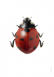 Foto poster Lieveheersbeestje Coccinella septempunctata