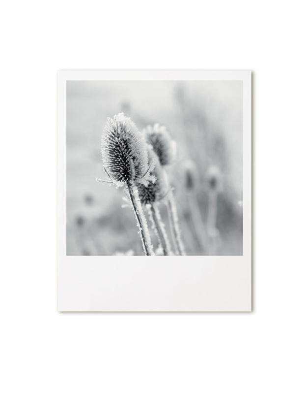 Foto poster Distel 20x25cm