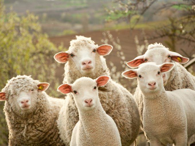 Neiuw-Zealandse wol