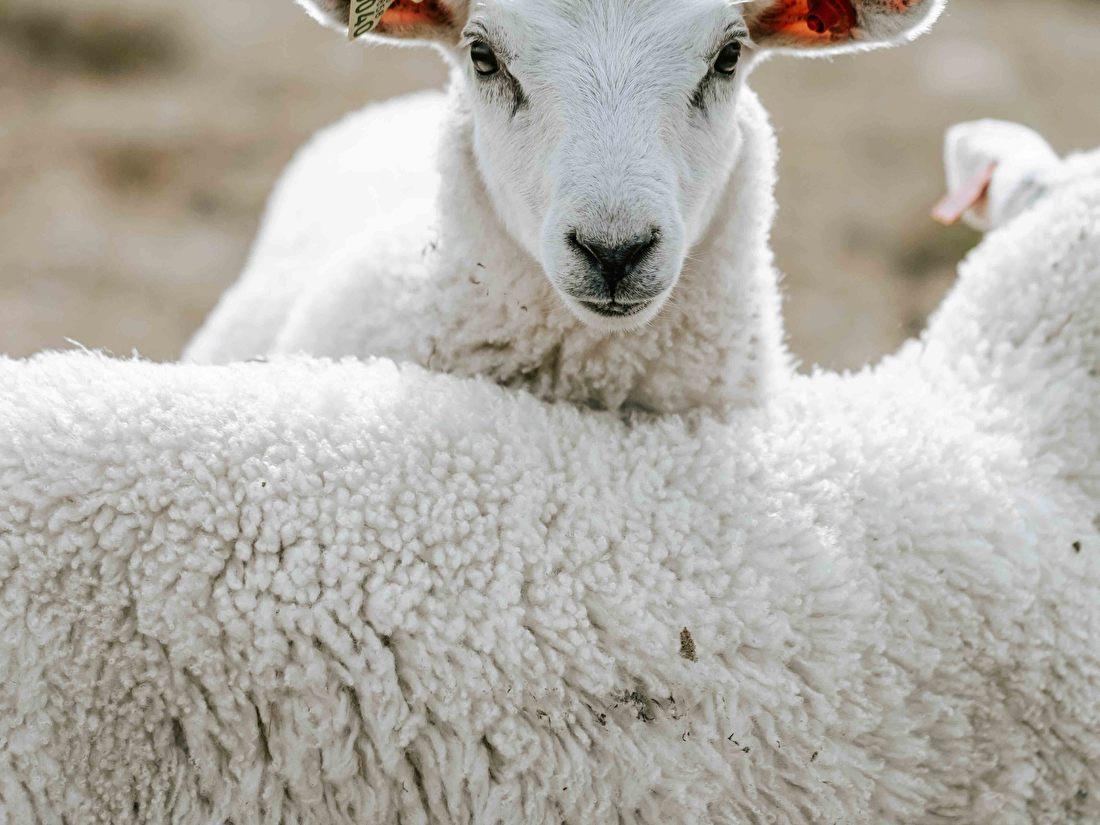 Schapen wol