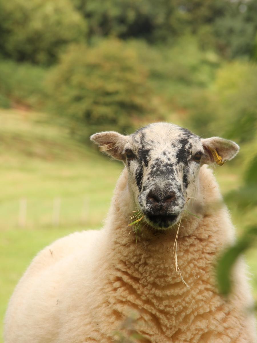 Nieuw Zeelandse wol
