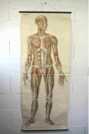anatomie spierstelsel