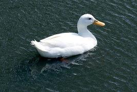 Haaks®Barf Duck