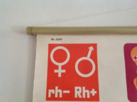 Schoolplaat.  Medisch: Rhesusfactor. 1977.