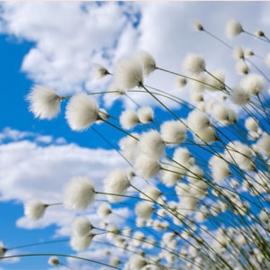 Geurolie - Cotton & Blossom