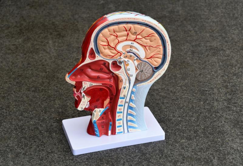 Anatomiemodel hoofd