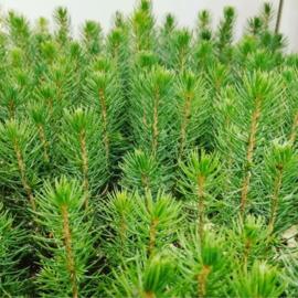 Online workshop Kerstboompjes op hydrocultuur maken