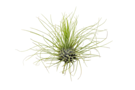 Tillandsia Argentea (airplant)