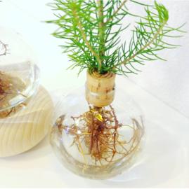 Kerstboompjes op hydrocultuur