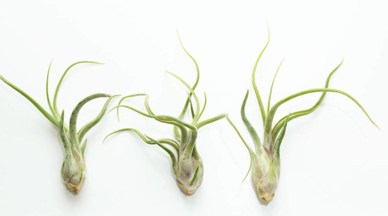Tillandsia Caput Medusae (airplant)