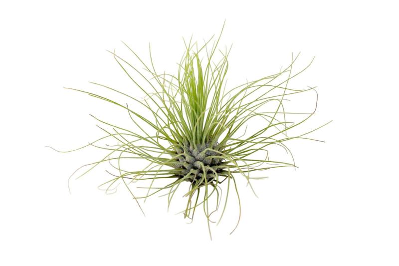 Tillandsia Argentea (airplant)