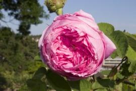 Bulgarische Rosenkönigin aller Blumen
