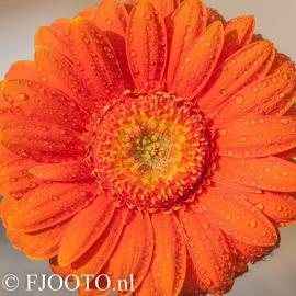 Gerbera oranje 3 (Canvas 2cm)