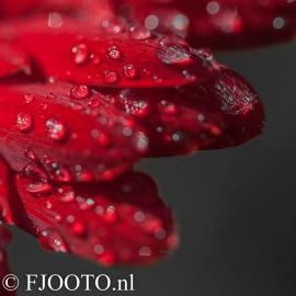 Gerbera rood 1 (Canvas 4cm)