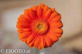 Gerbera oranje 4 (Dibond)