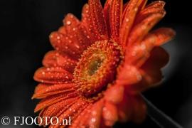 Gerbera oranje 1 (Dibond)