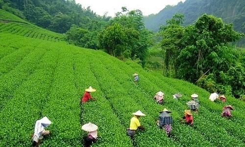 Darjeeling zwarte thee