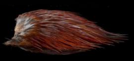 Cock Saddle (colors)