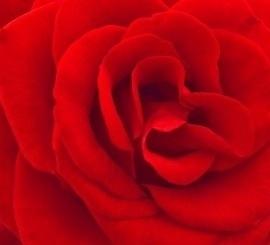 fotobehang art. 70017 Rode Roos