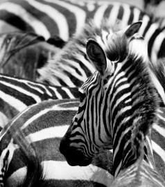 fotobehang art. 70078 Zebra