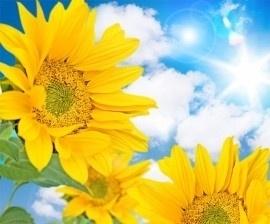fotobehang art. 70054 Sunflower
