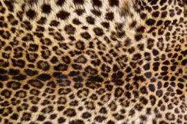 leopards fotobehang panter ms-50184