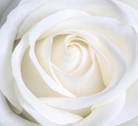 fotobehang 70016 Witte Roos
