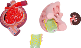 Nephron, glomerulus en podocyt - model