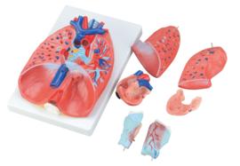 Borst organen