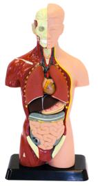 Menselijk model 27 cm