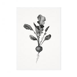 Mélisse Prints | De radijs