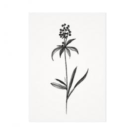 Mélisse Prints | De zwarte bes