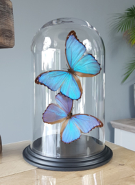 Butterfly Dome with 2 Morpho Didius butterflies 32cm RMV03