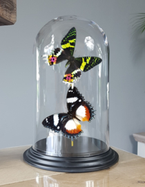 Butterfly Dome with Urania Ripheus & Hipolymnas Dexithea butterflies 27cm RMV09