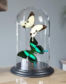 Butterfly Dome with Papilio Dardanus & Blumei butterflies 27cm RMV08