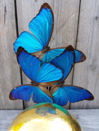 Glass Dome with 24ct Gold plated Ostrich Egg & 5 Morpho Butterflies NoV5