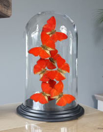 Butterfly Dome with Cymothoe Sangaris butterflies 27cm RMV12