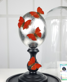Glass Dome with Silver Plated Ostrich egg & 4 Cymothoe Sangaris Butterflies NoV3