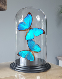 Butterfly Dome with Morpho Menelaus butterflies 27cm RMV10